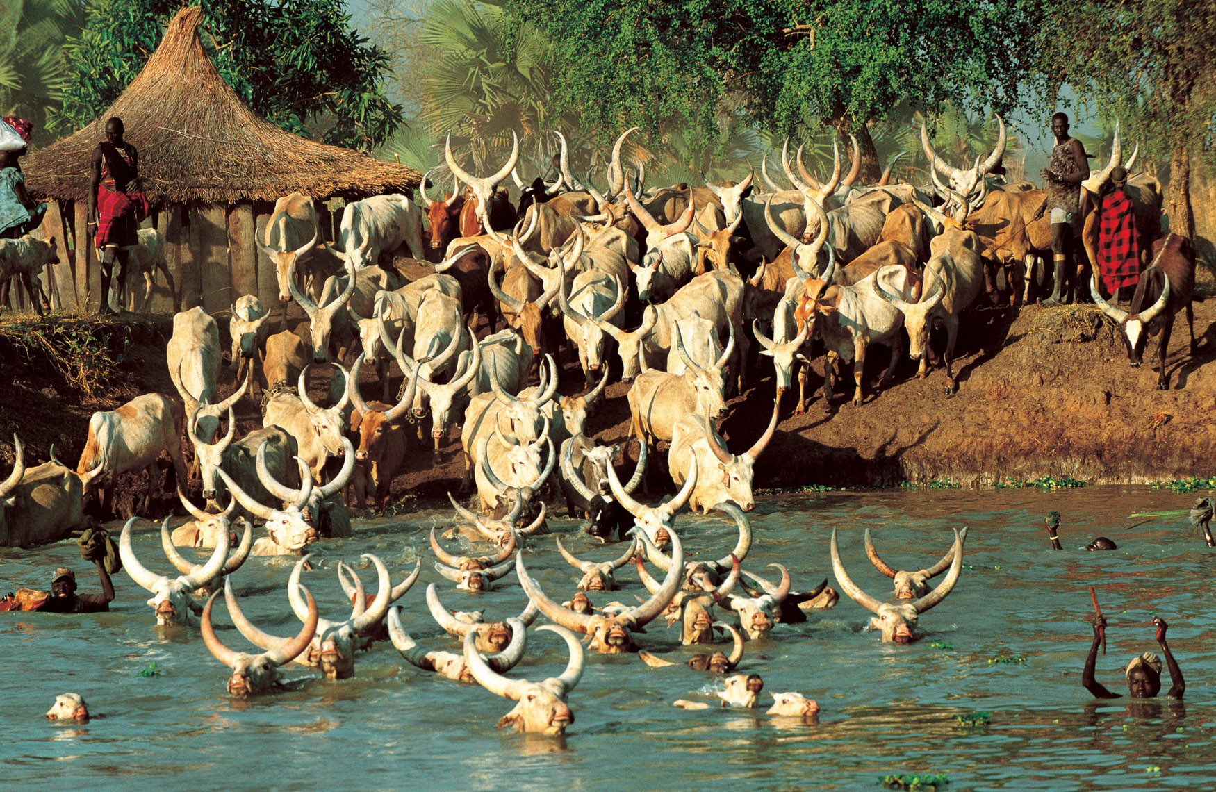 Dinka Cattle Crossing River, South Sudan