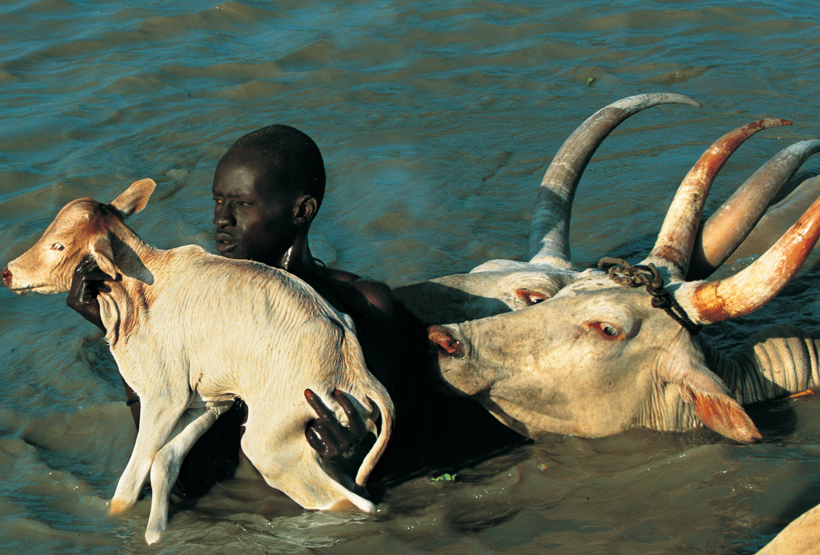 Dinker Herder Carrying Calf Across River, South Sudan